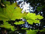 Leaf (DSCF0154d.jpg)