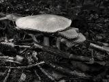 Mushroom II (DSCF0157ls15d.jpg)