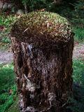 Moss Covered Stump (DSCF0178d.jpg)