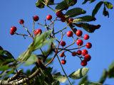 Rowan Berries (DSCF0195d.jpg)