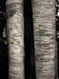 Bark VI (DSCF0203g25d.jpg)