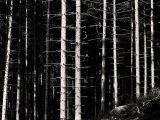 Skeletal Pines (DSCF0235w120d.jpg)