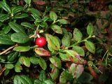 Cranberry (DSCF0240d.jpg)