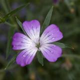 Fleur III (_DSC1426.jpg)