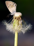 moth on dandelion