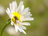 fly on daisy