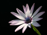 sunlit daisy