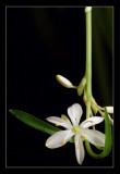 renaissance in bloom