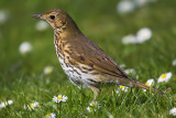 Song thrush, Cambridge, UK, April 2007