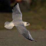 Black-headed gull (larus ridibundus), Vidy, Switzerland, October 2006