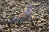 Oriental turtle dove (Streptopelia orientalis) ɽ°ßð¯
