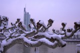 Pollarded Plane Tree, Frankfurt