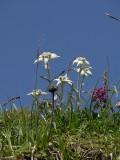 Tibet: wildflowers