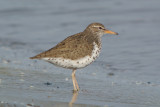 Spotted Sandpiper ( Actitis macularia )