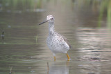 Greater Yellowlegs (Tringa melanoleuca )