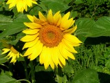 sunflowers 4.JPG