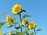 sunflowers 5.JPG