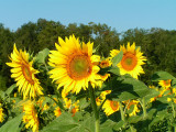 sunflowers 6.JPG