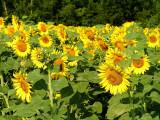 sunflowers 7.JPG