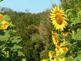 sunflowers 8.JPG