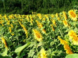 sunflowers 10.JPG