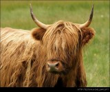 Scottish Cow III