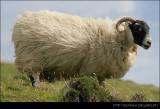 Scottish Goat II