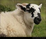 Scottish Goat III
