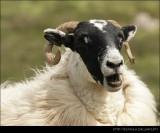 Scottish Goat IV