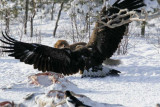 Great Pics of  Eagle & Fox