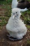 Albino chick