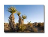 Yucca PlantsJoshua Tree Nat'l Park, CA