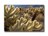 Cholla Cactus GardenJoshua Tree Nat'l Park, CA