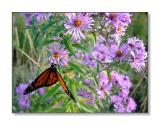 Butterfly & FlowersStoddard, NH