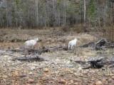 Dall sheep by road; also lynx, fox, b-bear