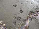 Wolf prints (saw many) and natural oil
