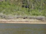Muskoxen!  Arctic bison