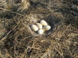 Canadian goose nest by Mud Camp