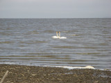 Tundra swans of which we saw many