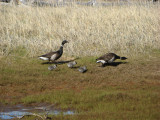 Brants geese; first chicks of year