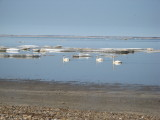 Tundra swans among the floes