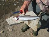 Big sardine!  Didn't know marine species