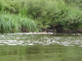 Canadian geese raise families in groups