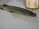 I caught this pike!  My first fish