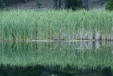 Cattails on Lily Lake