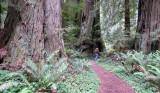 Pacific Coast Redwoods