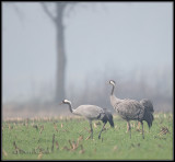 Crane / Kraanvogel / Grus grus