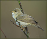 Willow Warbler / Fitis / Phylloscopus trochilus