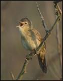 Grasshopper Warbler / Sprinkhaanzanger / Locustella naevia