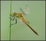 Yellow-winged Darter / Geelvlek Heidelibel